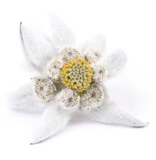 edelweiss_sole